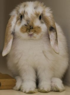 bunny rabbit !! Ahhhh so cute I can't stand it :3