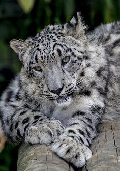 Beautiful, a Snow Leopard,