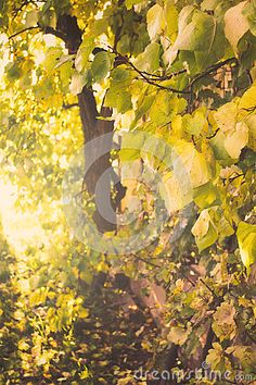 Photo about Apricot tree with golden foliage in soft autumn sunlight. Image of yellow, apricot, golden - 79329330 Apricot Tree, Soft Autumn, Autumn Trees, Stock Photos, Yellow, Photography, Painting, Image, Art