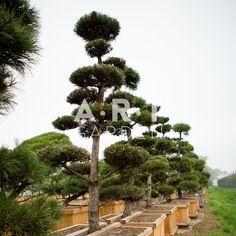 Pinus nigra nigra bons250-300, W110x110