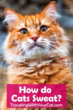 As a cat owner there are ways to check to see if the cat actually has a fever or if the cat is just too hot. Temperatures from outside overexertion stress and excitement all play in roles of raising the animal's body heat. Best Cat Food, Food Pyramid, Animal Species, Body Heat, Cat Health, Cool Cats, How To Stay Healthy, Raising