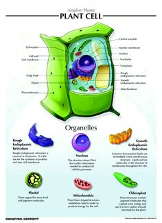 Anatomy of a Plant Cell | My Articles | Pinterest | Plant cell ...