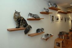 feline scones