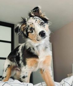 Cute Overload: Internet`s best cute dogs and cute cats are here. Aww pics and adorable animals. Super Cute Puppies, Cute Little Puppies, Cute Little Animals, Cute Dogs And Puppies, Cute Funny Animals, Doggies, Baby Puppies, Australian Shepherd Puppies, Aussie Puppies