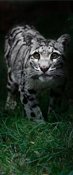 This beautiful Asian cat, named for its spotted coat, is seldom seen in the wild, and its habits remain a bit mysterious. Clouded Leopards roam the hunting grounds of Asia from the rain forests of Indonesia to the foothills of the Nepali Himalayas.