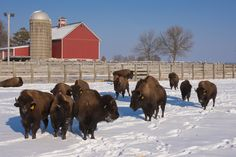So Pretty.Buffalo at Fermilab, Batavia, IL. Not far from where we live. Cool Places To Visit, Places To Go, North Aurora, Forest Preserve, Elle, Bike Path, My Kind Of Town, Valley View, Tri Cities