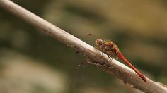 https://flic.kr/p/fhzebo | Ready to launch.... | Very happy to have captured my first common darter this year, taken at the Claypit Nature Reserve, Wilford. Should be able to get closer to them and take some macro shots in a couple of weeks time. Click on image to view larger. E-M5/100-300mm.