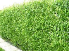 Willow Hybrid Trees for Sale | Fast Growing Trees