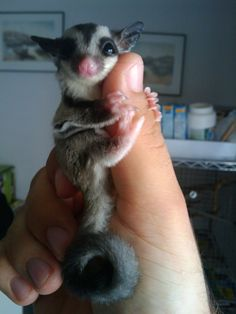 Precious baby Sugar Glider - I don't like wild creatures being pets. Or birds in cages. But I guess there will always be strange relationships between creatures, man and wild animals included.