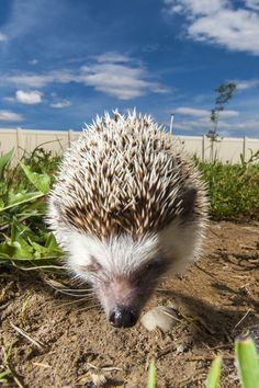 Backyard Hedgehog Photo by Alan Griffin -- National Geographic Your Shot