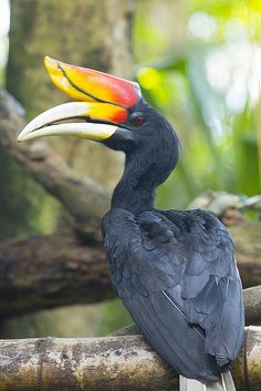 Rhinoceros Hornbill | by Chong Lip Mun