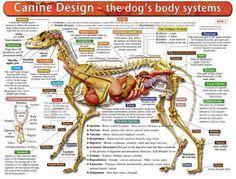 Dog Muscle Anatomy by TheDragonofDoom.deviantart.com on @deviantART ...