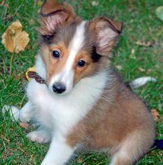 cachorro Pastor de las islas Shetland
