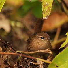"""Rufous brown above, grayer below, barred with darker brown and gray, even on wings and tail. The bill is dark brown, the legs pale brown. Young birds are less distinctly barred. Most are identifiable by the pale """"eyebrows"""" over their eyes."""