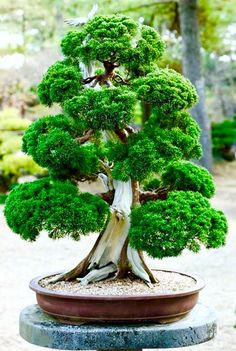 An old, trained bonsai tree as a patio decoration? Talk about being 100x better…