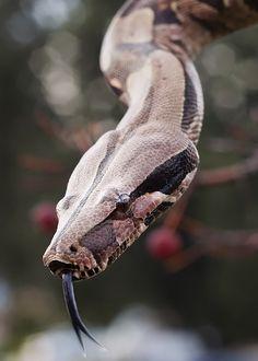 Snake, Nice to Smell You by DeniseSoden.deviantart.com on @deviantART