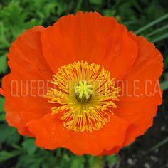 image de Papaver nudicaule Photos, Lust, Image, Gardens, Flowers, Index Cards, Plants, Pictures, Photographs