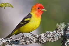 A western counterpart to the Scarlet Tanager, this species occurs in summer farther north than any other tanager -- far up into northwestern Canada. Western Tanagers nest in coniferous forests of the north and the high mountains, but during migration they may show up in any habitat, including grassland and desert; the bright males often draw attention by pausing in suburban yards in late spring.