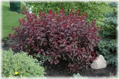 Purpleleaf sandcherry:  fast growing hedges produce red foliage in the spring and white flowers in May. In the autumn the foliage will turn a deep reddish purple. They are valued for beautiful foliage and hardiness - zones four through seven.