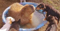 Capybara Loves All The Animals On Her Farm