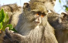 ~ Samango monkeys are rare because they are confined to the evergreen Afromontane forests of Southern Africa, which covers less than of the. New World Monkey, Country Hotel, Primates, Forests, Monkeys, Old World, Evergreen, Flora, Southern