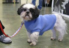 Robbie is a 7 year old Shih Tzu that was adopted from the RISPCA. He is s gift from heaven says new mom Judy. Awwwww