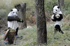 Милые и забавные панды