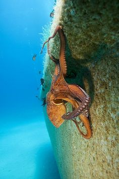 Octopus seen while diving off Malta Island, south of Sicily