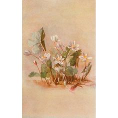 Our Early Wild Flowers 1916 Bloodroot Canvas Art - Eloise P Luquer (18 x 24)