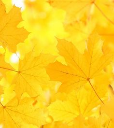 ༺♥༻Fall - the brilliant, distinctive, glowing golden yellow of the Maple tree༺♥༻