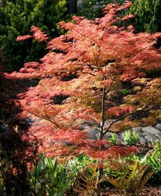Acer palmatum 'Baldsmith'. A finely dissected maple, has light orange-red leaves. Stunning!