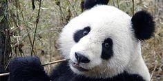 Los osos pandas ya no se encuentran en peligro de extinción