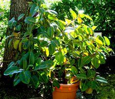 esemplare coltivato in vaso e portato all'aperto nel periodo estivo