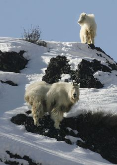 A mountain goat kid, above, follows an adult as they forage for food on a rocky cliff up Big Cottonwood Canyon. (Scott Sommerdorf   |  The Salt Lake Tribune)