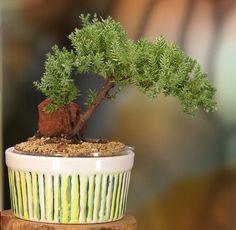 Bonsai de zimbro, Juniperus L. Fotografia: www.etsy.com