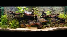 Love this planted piranha aquarium :) wish mine would stop EATTING ALL THE PLANTS