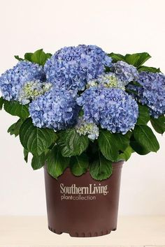 *We are unable to ship live plants to: CA, HI, AK, AZ The Big Daddy Hydrangea from the Southern Living Plant Collection produces massive eye-catching blooms tha Blue Hydrangea, Blue Flowers, Hydrangeas, Easy To Grow Houseplants, Endless Summer Hydrangea, Hydrangea Macrophylla, Butterfly Bush, Perfect Plants, Hydrangea