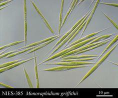 Monoraphidium griffithii