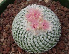 Epithelantha Micromeris (Button Cactus)