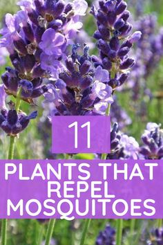 Repellents 11 Plants that Keep Mosquitoes and Other Insects Away Plants that repel mosquitoes Home and garden Plants that repel bugs Insect repellentsPlants that repel. Plants, Plant Information, Planting Flowers, Garden Plants, Backyard Landscaping, Unusual Plants, Insect Repellent Plants, Shade Plants, Flower Landscape