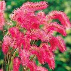 Bildergebnis für Rosafarbene Federblüte