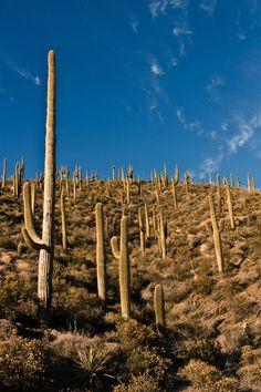 Saguaro cacti in the Arizona Mountains #cactus, #photography by © Aaron Lademann
