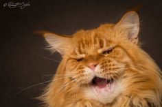 Robert Sijka Captures Stunning Portraits of Maine Coon Cats #inspiration #photography