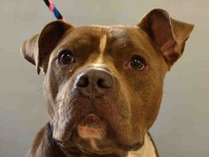 KILLED BY ACC - 07/18/15 - TO BE DESTROYED - 07/18/15 - MORTIMER - #A1043905 - Urgent Manhattan - MALE GRAY PIT BULL MIX, 2 Yrs - OWNER SUR - EVALUATE, NO HOLD Reason PERS PROB Intake Date 07/13/15