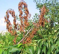 Почему деревья стоят словно обожженные и как это исправить.  Увы, в средней полосе вырастить вишню стало труднее, чем черешню и виноград. Каждое лето на деревьях появляются ветки с засохшими листьями…