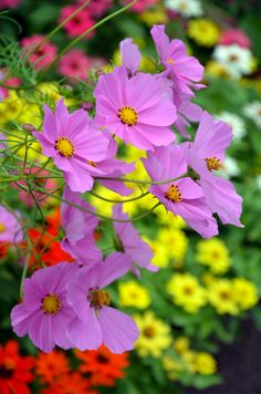 ~~Beautiful #purple #cosmos flowers blooming in colorful summer garden.  I love the combination of colors: #red, #yellow, #purple, #white and #green. By Perl Photography~~