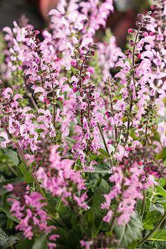 Color Spires® 'Pink Dawn' - Perennial Salvia - Salvia
