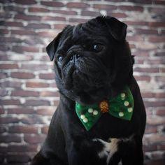 If it's not Baroque, don't fix it! . . Thank you for my beautiful Cogsworth bow it's fab . . #dogsinbowties #roobows #bow #disney #beautyandthebeast #cogsworth #waltdisney #belle #princess #disneypets #ohmydisney ily #pugalier #puppiesofinstagram #speakpug #puglove #puglife #pugbasement #pugsofig #purepugspp #pugsrequest #dogsofinstagram #thetomcoteshow #buzzfeedanimals #pugstagram #smilingpugs #thepugdiary #pugloversclub #worldofpug #slavestopugs #wewoofingwoofyou