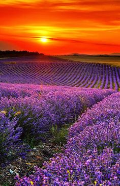 Lavandula is a genus of 39 known species of flowering plants in the mint family, Lamiaceae. It is native to the Old World and is found from Cape Verde and the Canary Islands, southern Europe across to northern and eastern Africa, the Mediterranean, southwest Asia to southeast India.   Lavender Fields Around The World via holidayspots4u.com