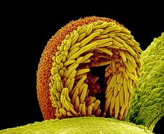 Pollen on the stigma of a sunflower plant (Helianthus sp. The stigma, part of the flower's female reproductive structure, is curled over here, with pollen grains (spiky orange balls) adhering to the yellow trichomes (hairs) on its underside Micro Photography, Nature Photography, Scanning Electron Microscope, Planting Sunflowers, Microscopic Photography, Organic Structure, Microscopic Images, Macro And Micro, Mushroom Art